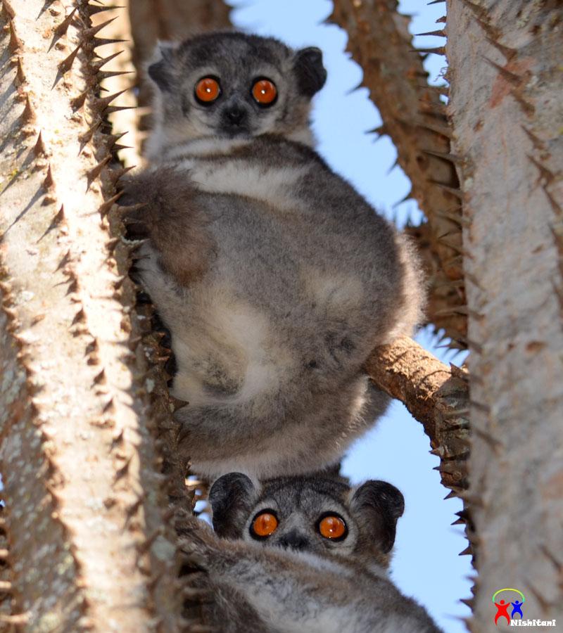 母と子のマダガスカル旅行写真集:ベレンティ保護区(ベローシファカ・ワオキツネザルほか)